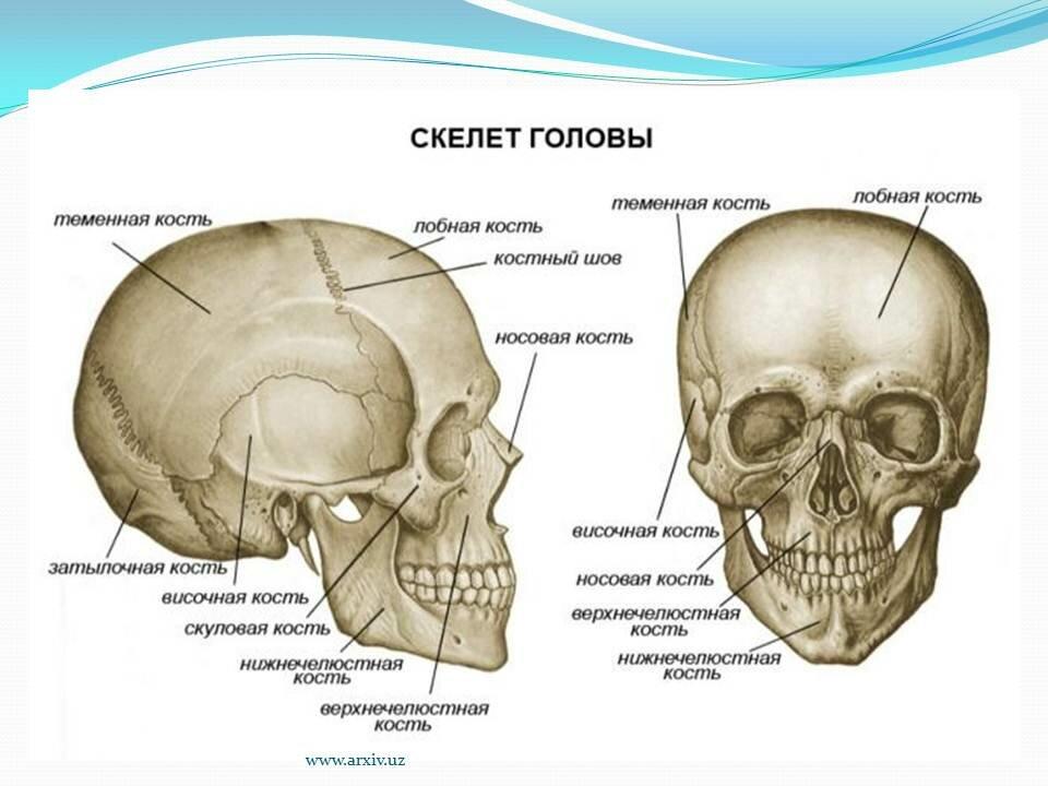 картинка черепа с костями строение первую очередь, часть