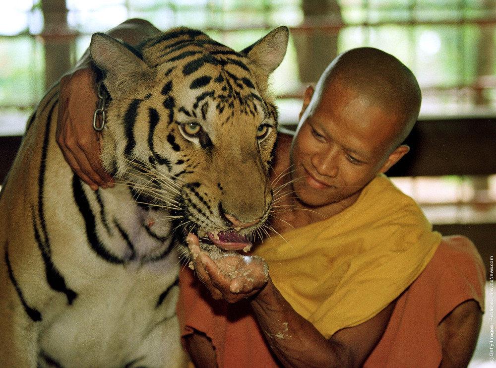 тигр и человек фото раз создаю
