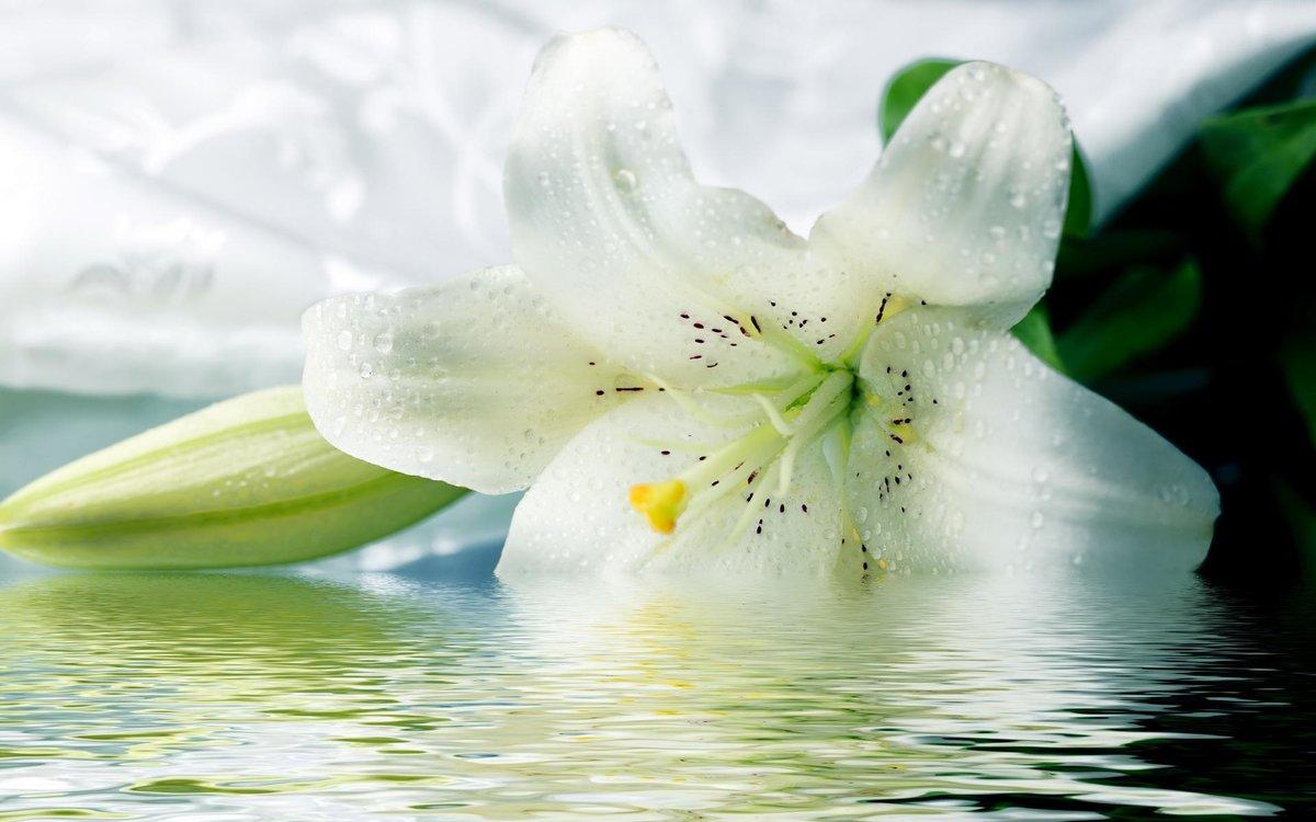 Открытку, белая лилия картинки на рабочий стол
