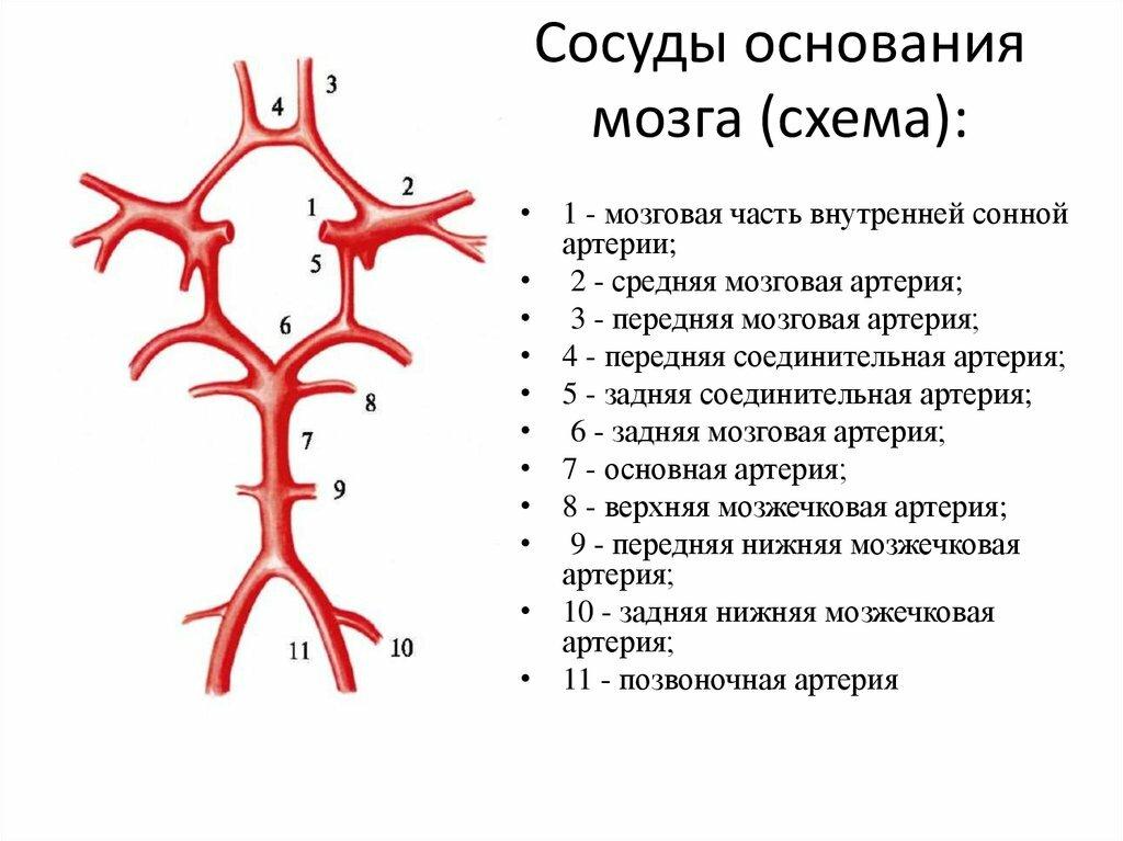 артерии строение в картинках красивого дома