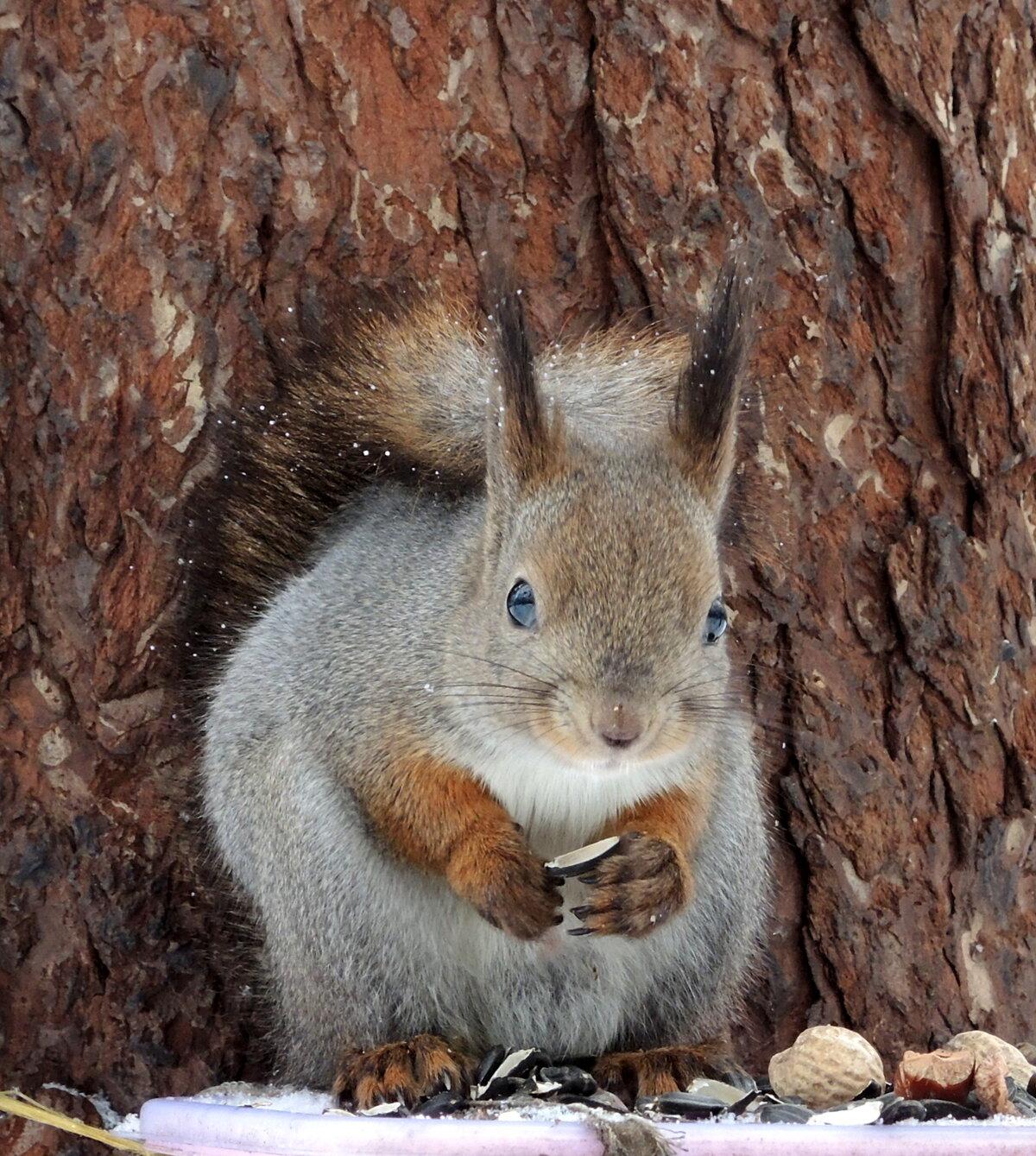 В зимней шубке#marinakolyadina #природа #фауна #животные #звери #белки #зима