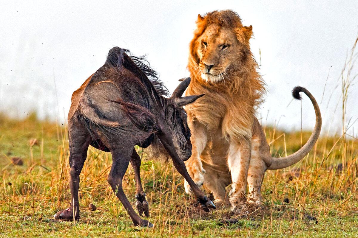 перечень львы атака картинки кафе