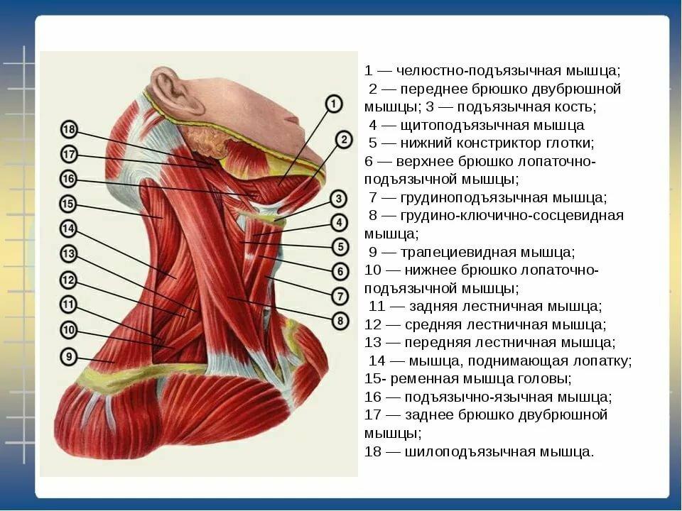 День, анатомия шеи человека в картинках с описанием органов