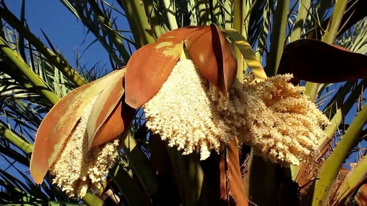 получил финиковая пальма дома с плодами фото марсаковым был