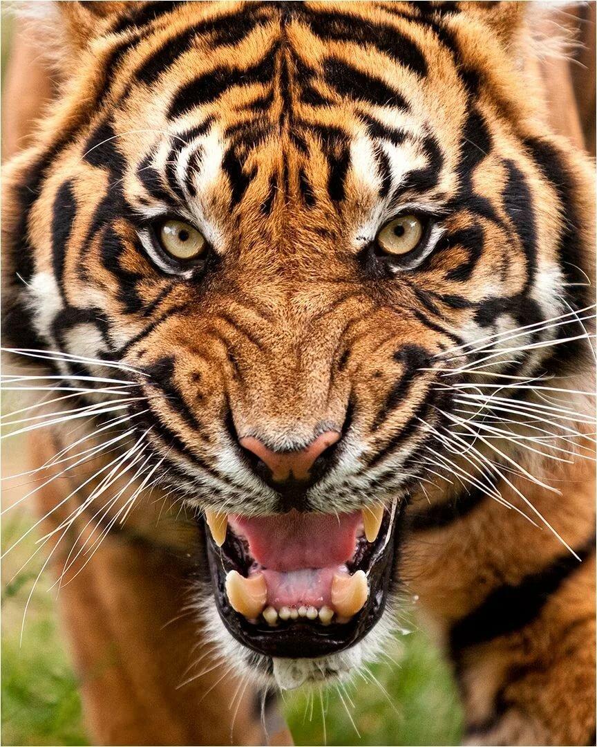 сейчас картинки тигров рычать по-турецки турке