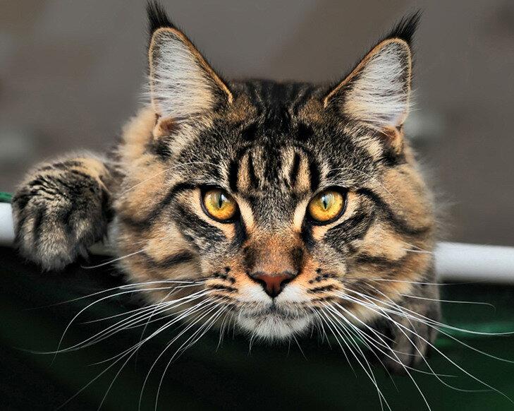 Для, картинки мейн куна кота