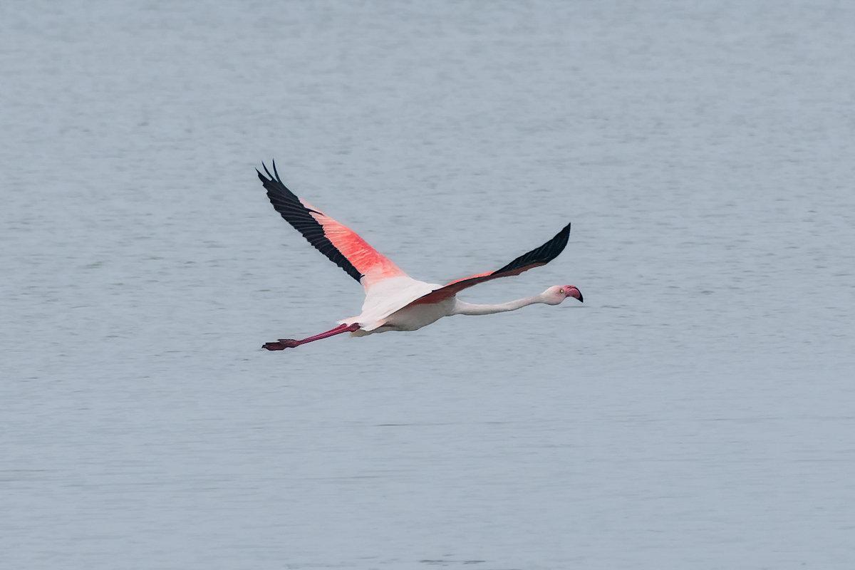 Полет фламинго