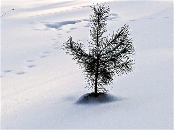 Маленькой ёлочке холодно в лесу...