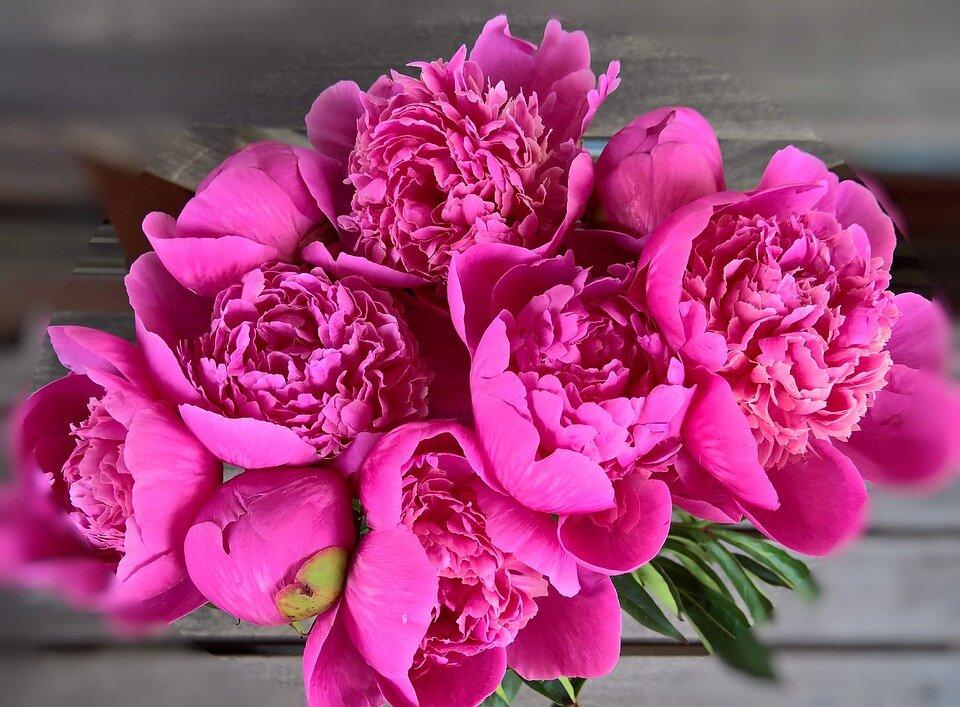 Цветы пионы фото красивые картинки обратилась