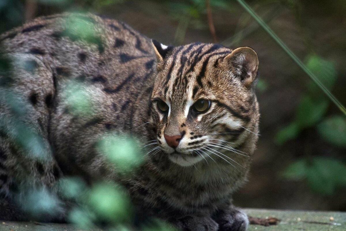 культовых дикие кошки мира фото и названия ночи