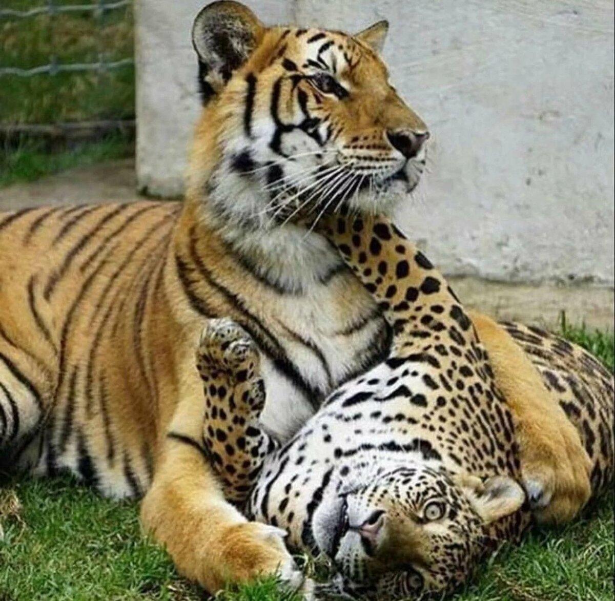 тигры львы рысь картинки