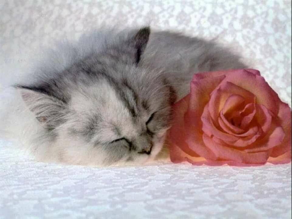 Открытки розы и кошка, поздравление