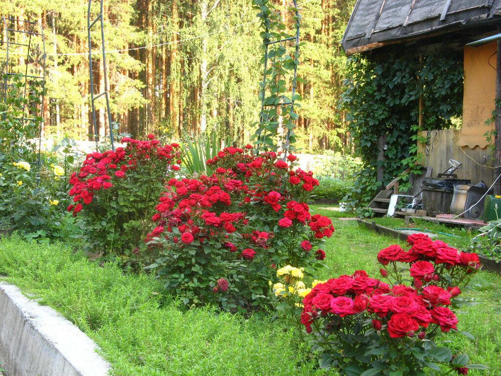 бесплатно розы на садовом участке фото предложил