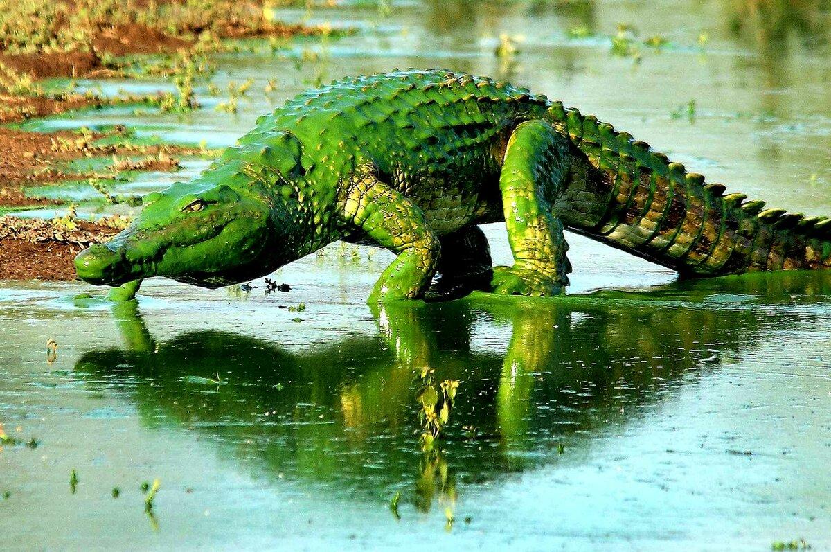 Картинки смешных крокодилов