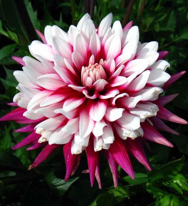 Георгин фото цветов с названиями