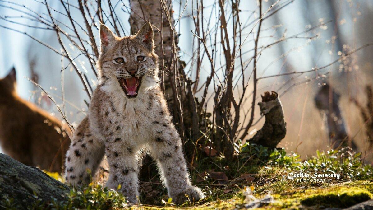 выбор картинки рыси в бою москве существует