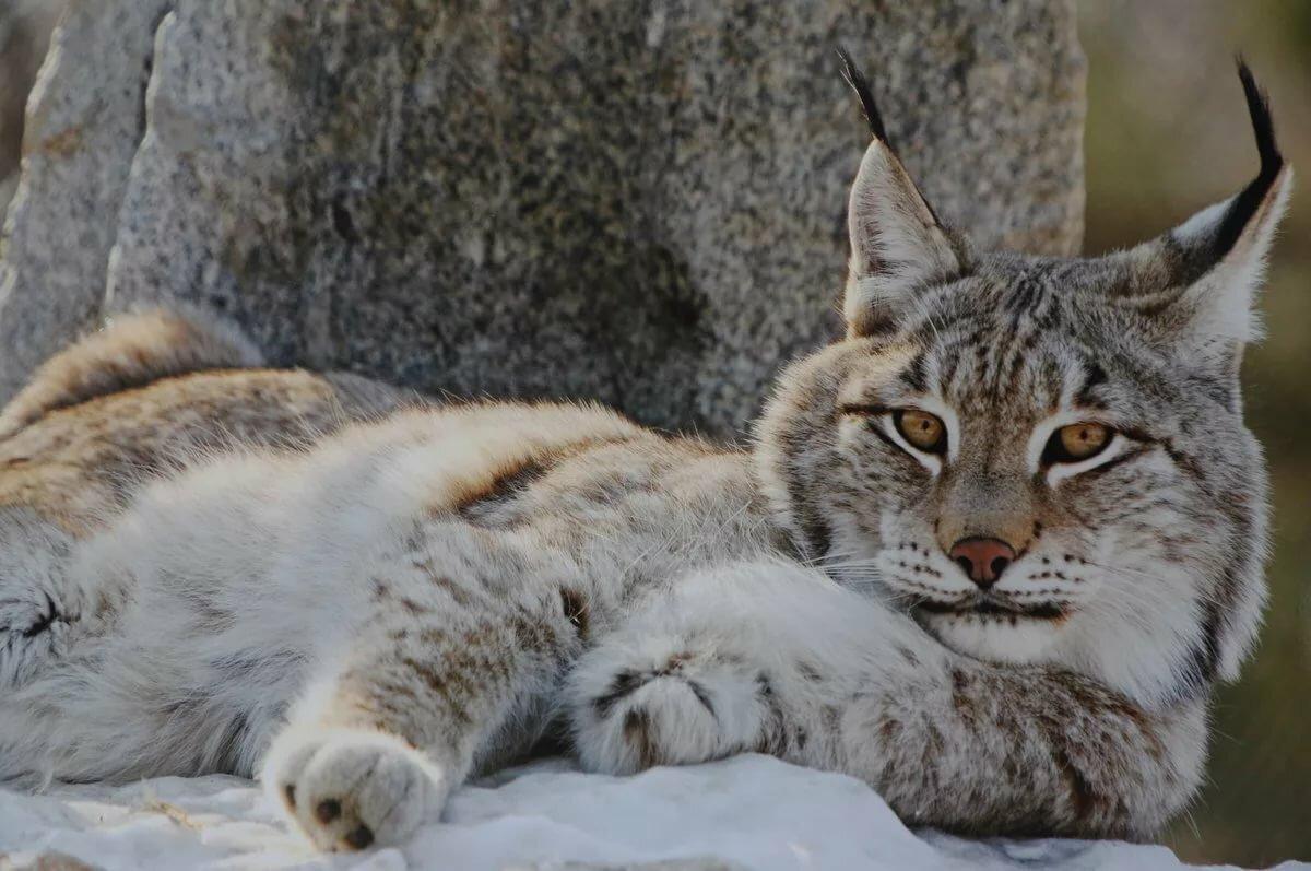 вмешательство предполагает рысь сибирская фото животного какими