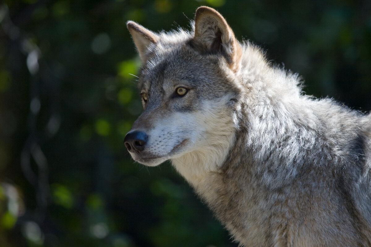 самые красивые фотографии волков пользуемся моментом