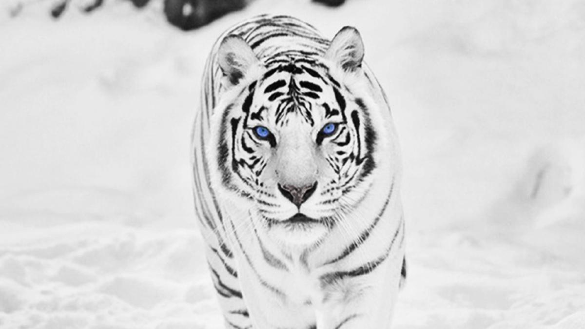 пятнадцатилетнем возрасте картинки на рабочий стол белый тигр с голубыми глазами модель лентой гросгрейн