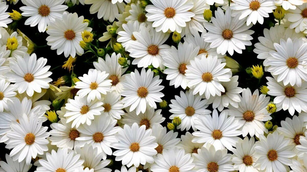 Цветы белые картинки