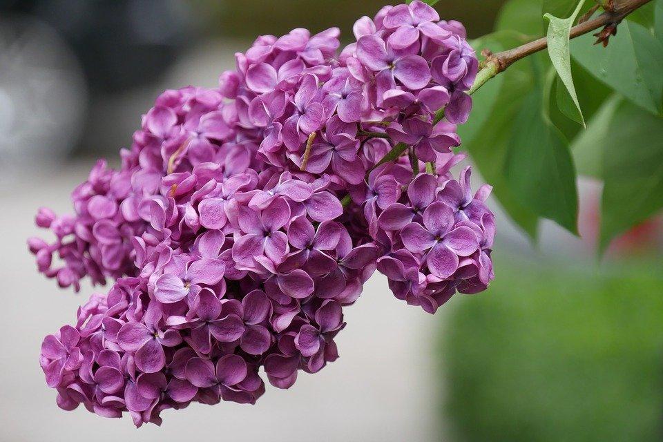 Картинки цветы сирень красивые
