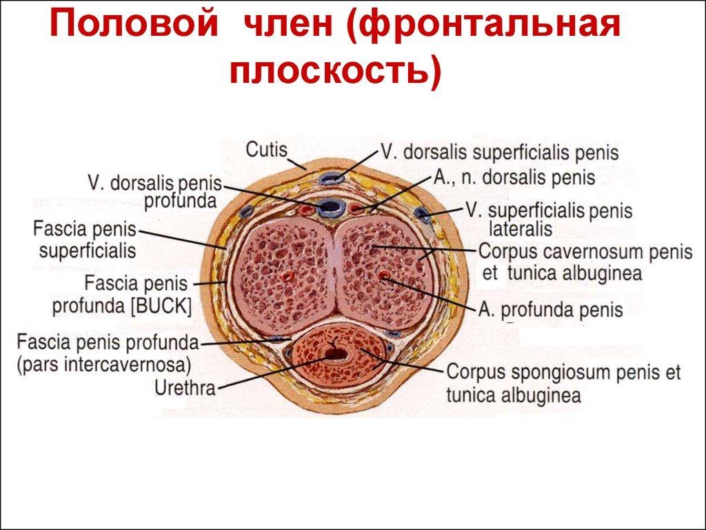 фото строение пениса гражданам россии этого