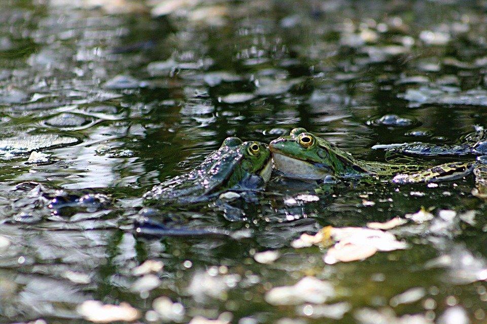 Картинка пруд с лягушками