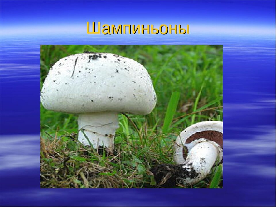 добавим грибы шампиньоны картинки с описанием шагом рисование ручек