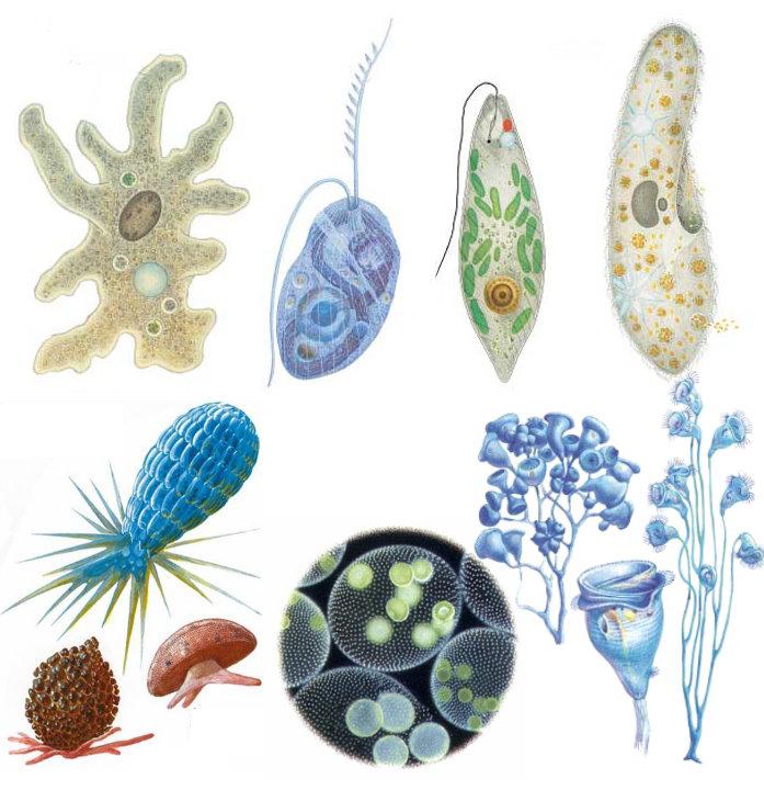 смогу простейшие организмы представлены исключительно