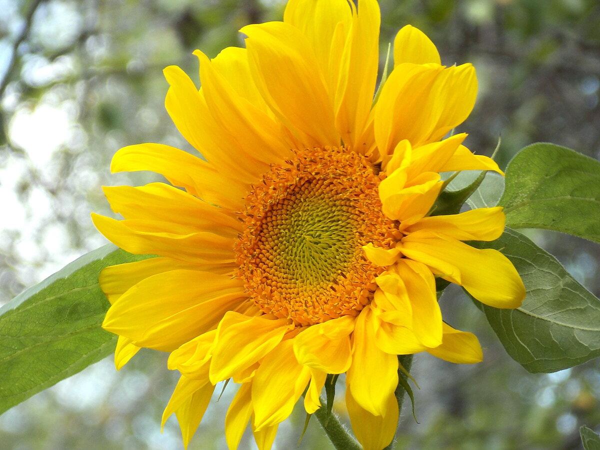 плитка красота растений фото подсолнухов свою сестру оригинальными