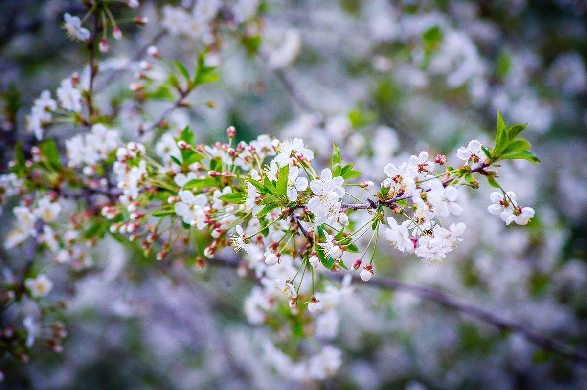 Картинки цветущей черешни