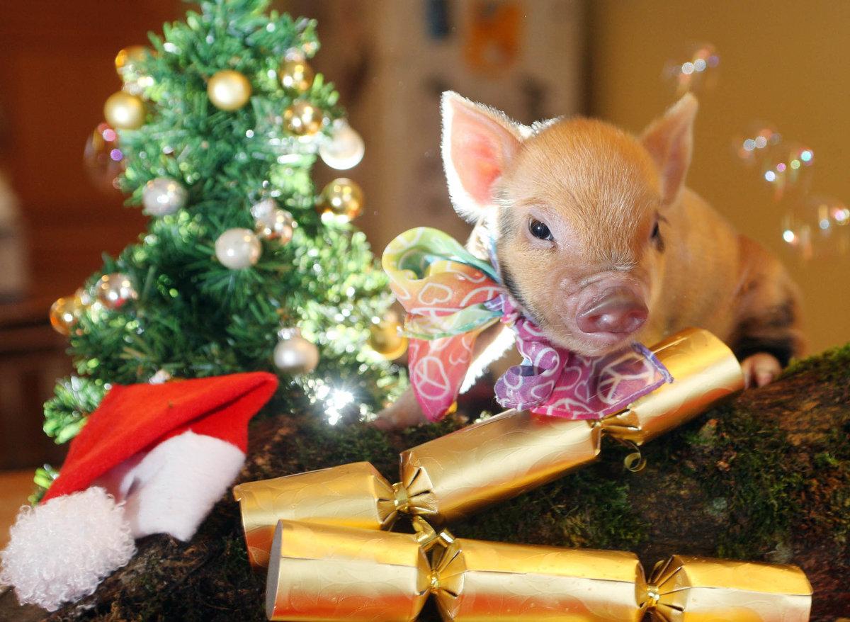 Картинки смешные новогодние свинки, добрым
