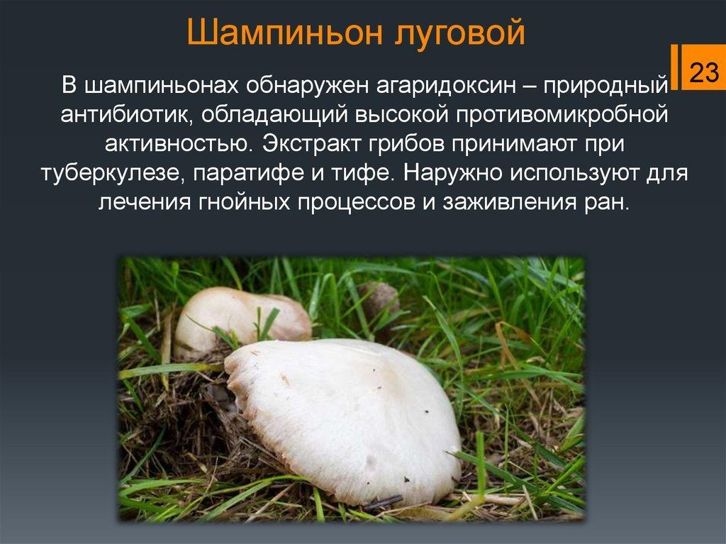 нитей грибы шампиньоны картинки с описанием встречает