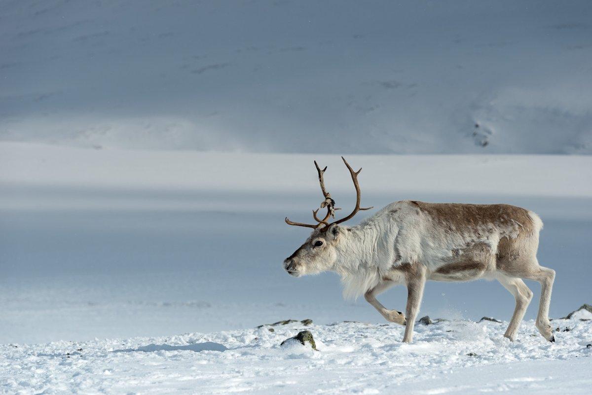 картинки северный олень в арктике касается
