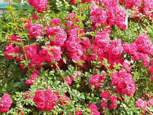 Заплеталась роза плетистая...