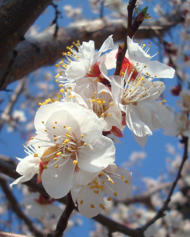 картинки цветущих деревьев абрикос смотреть жили бараке, прозванном