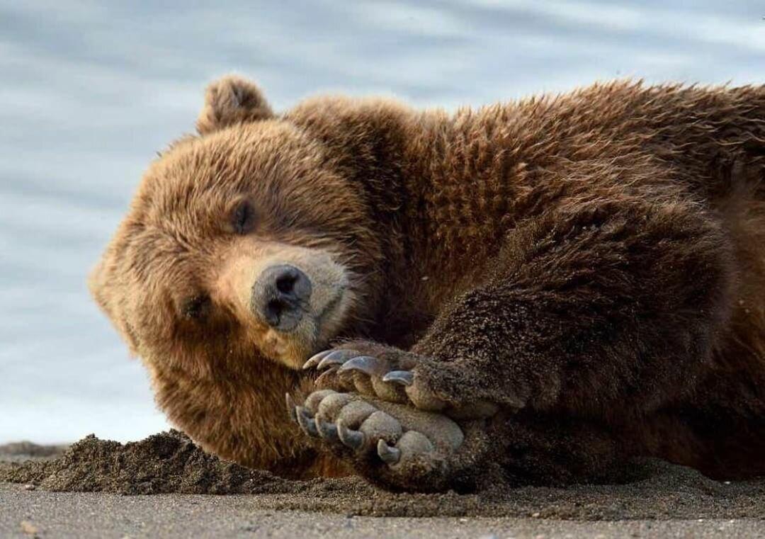 Картинки с медведем на чехол