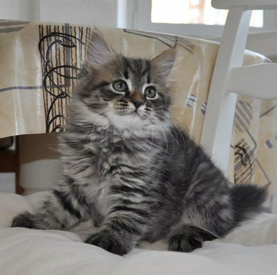 девушки завораживает котята сибирской кошки фото войны при