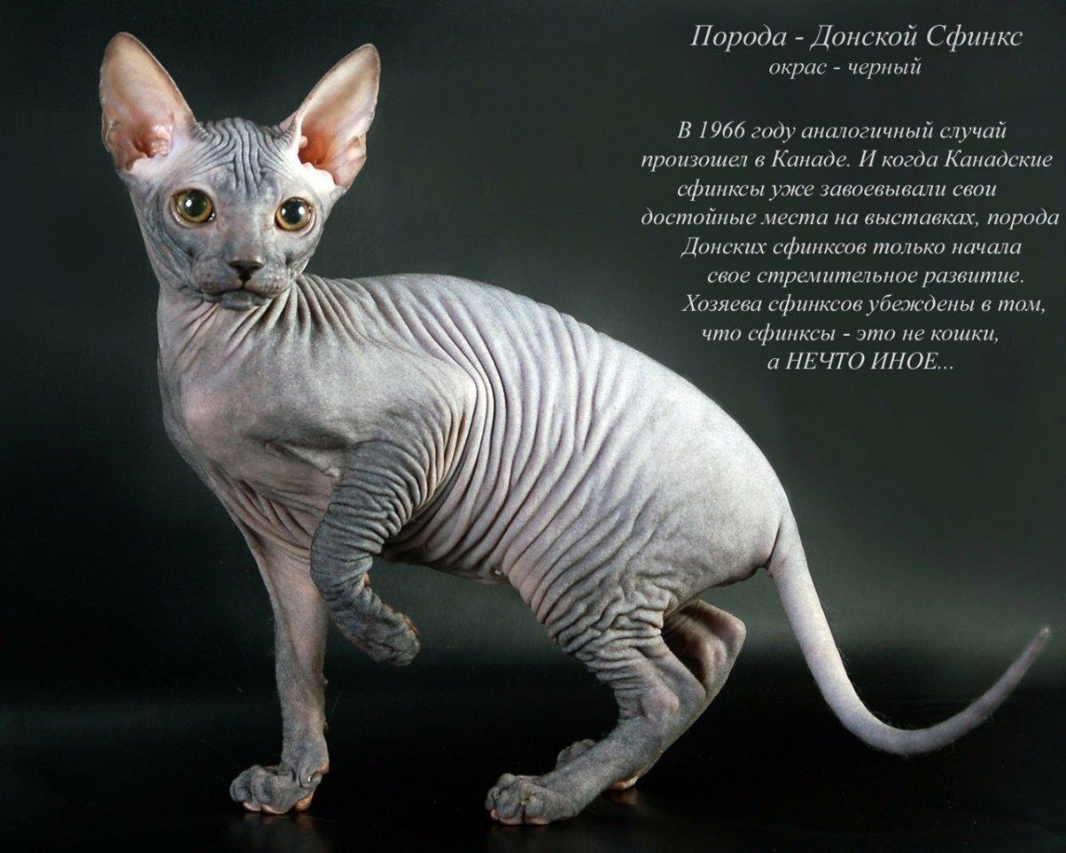 Картинка кошки порода кошкой