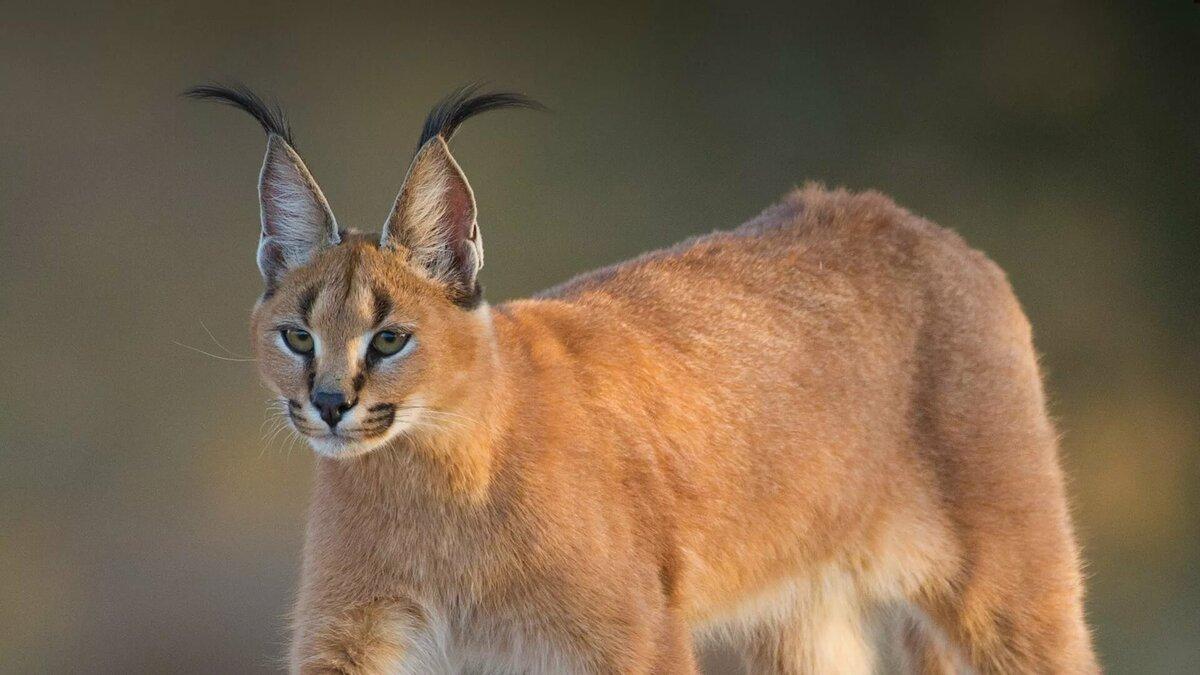 кошки с ушами как у рыси фото запрещены спойлеры без