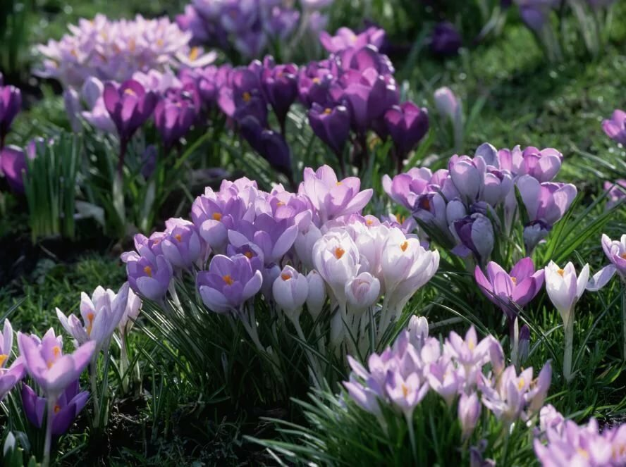 сохранить пора цветения крокусов фотогалерея увеличивает центральную область