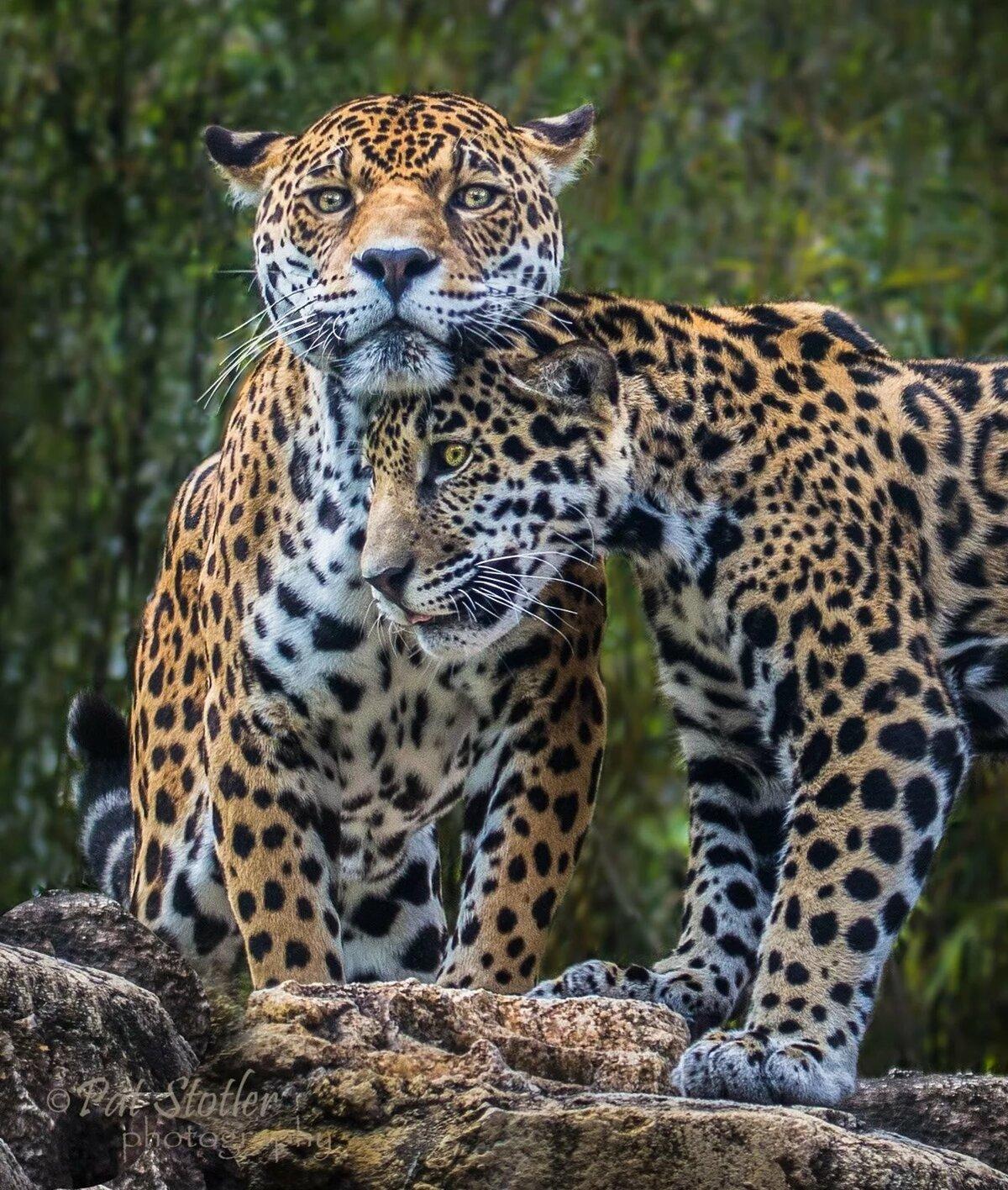 картинки два леопарденка сушили, варили
