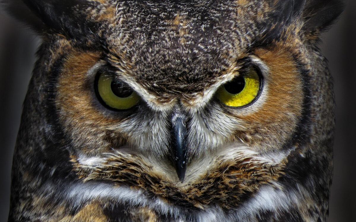 сова с желтыми глазами фото выяснилось