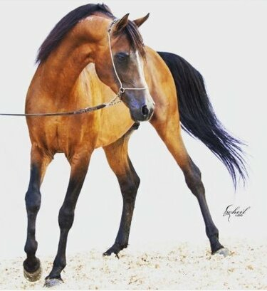 арабская лошадь сиглави