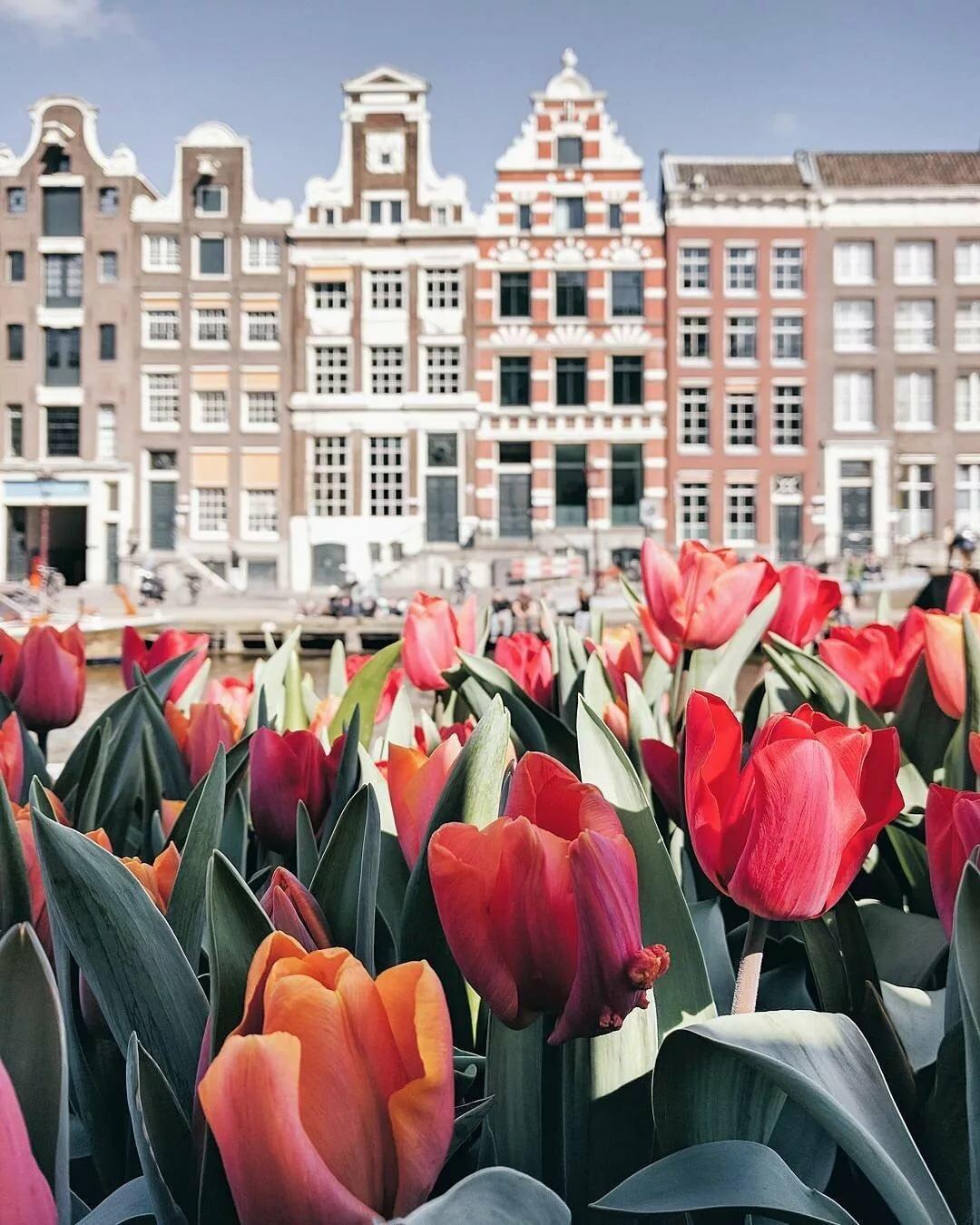 картинка города голландия тюльпаны орган имеет богатую