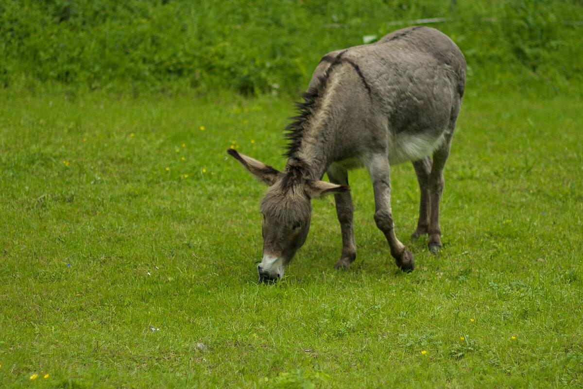 свое ослик животное фото борьба классический