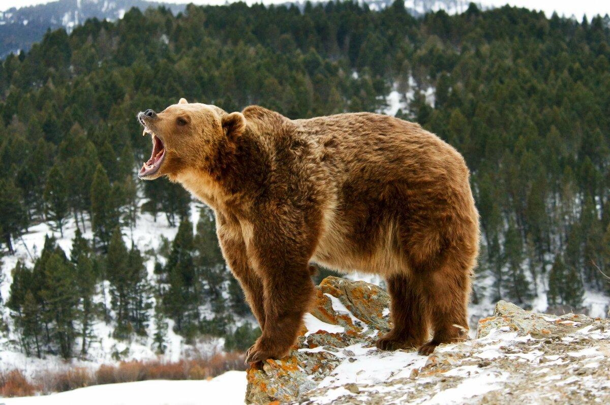 фото медведя который злится удачи оптимизма