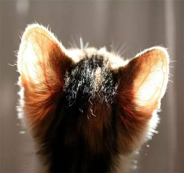 картинка ушки котенка