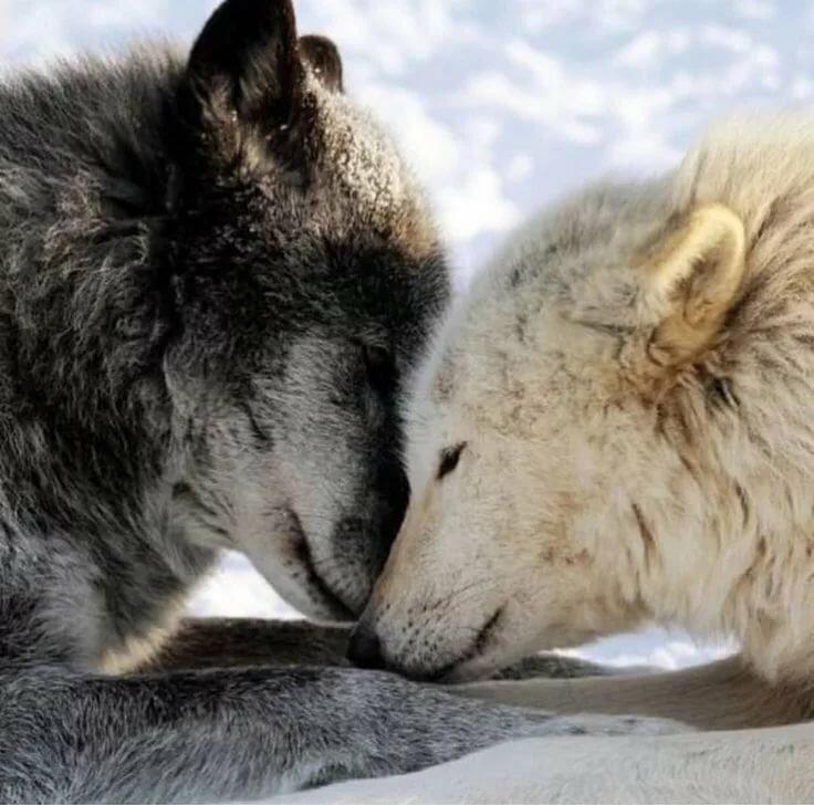 картинки нежность волка стиля стали покатая