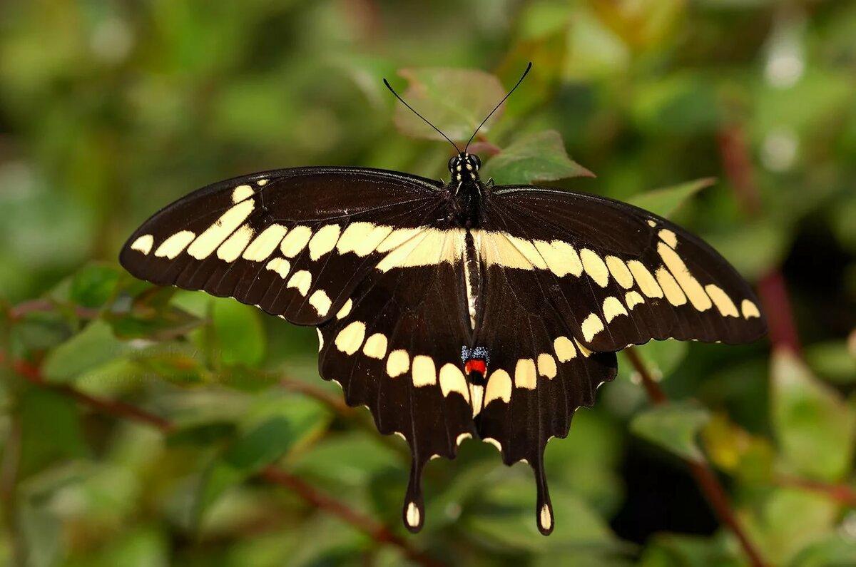 Картинки бабочки махаоны